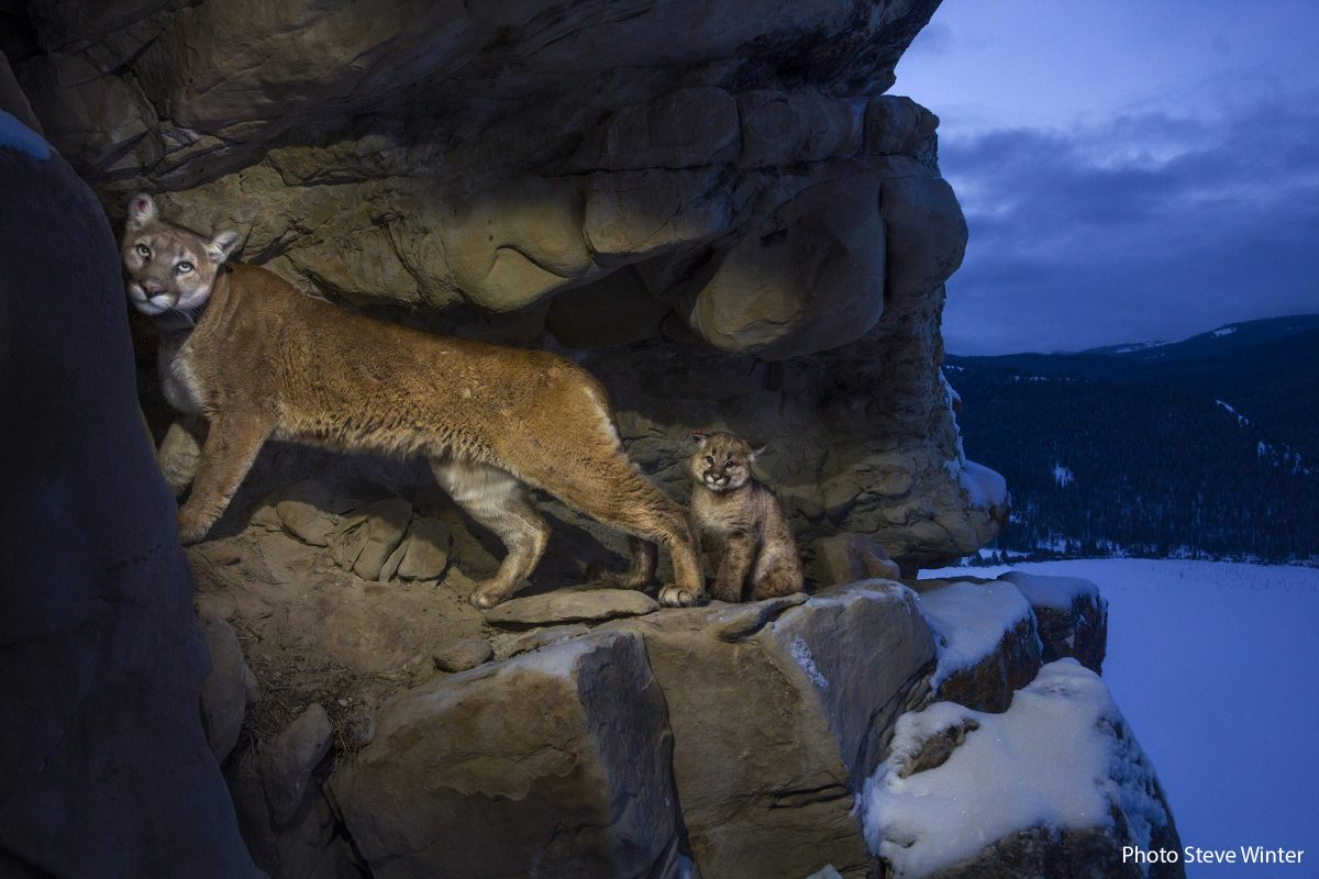 Female 51 (f51) and her kitten used the rock outcrops to provide shelter and cover for hunting.  Gros Ventre Mountains, WYoming. Cougars MM8026