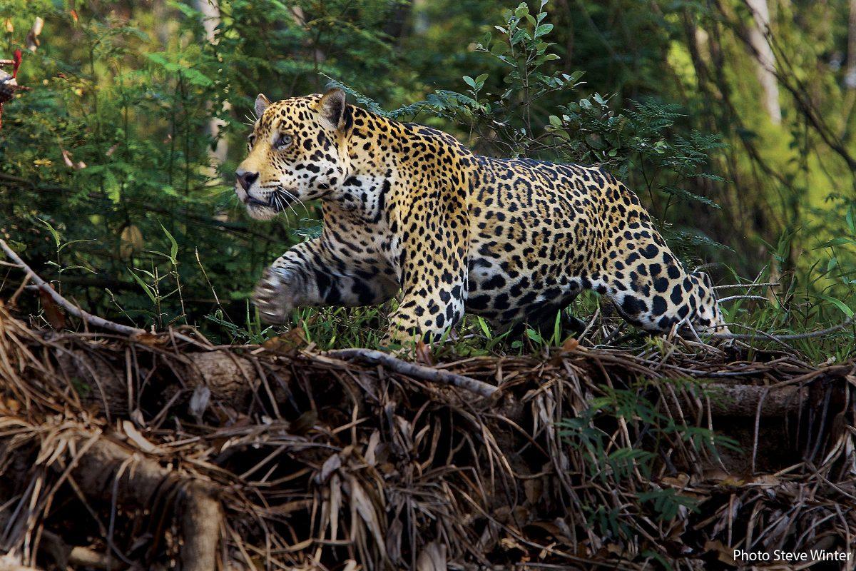 Panthera, Jaguars, Pantanal 2008