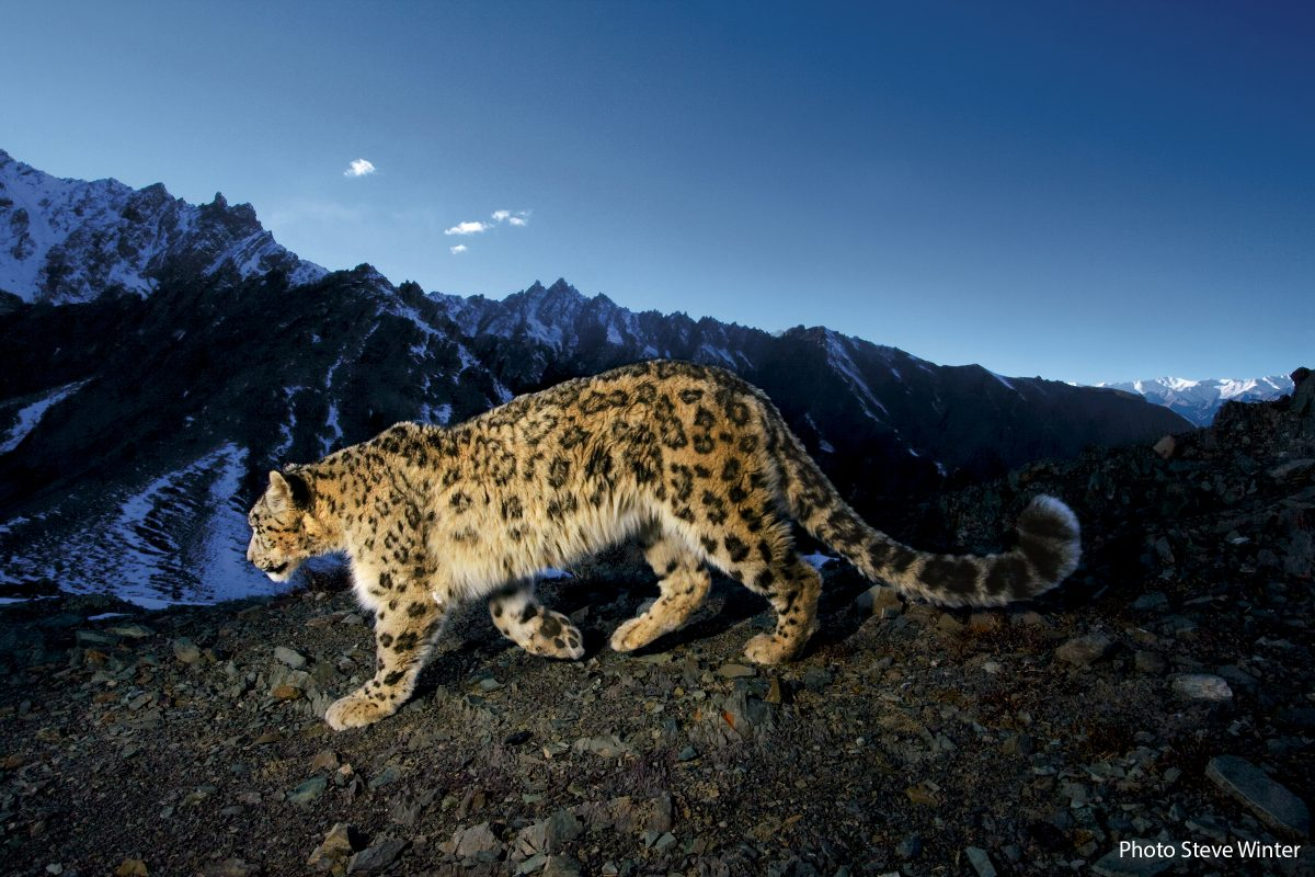 A snow leopard traverses a rocky slope.