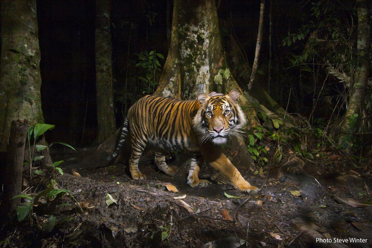 A remote camera captures a Sumatran tiger while hunting.