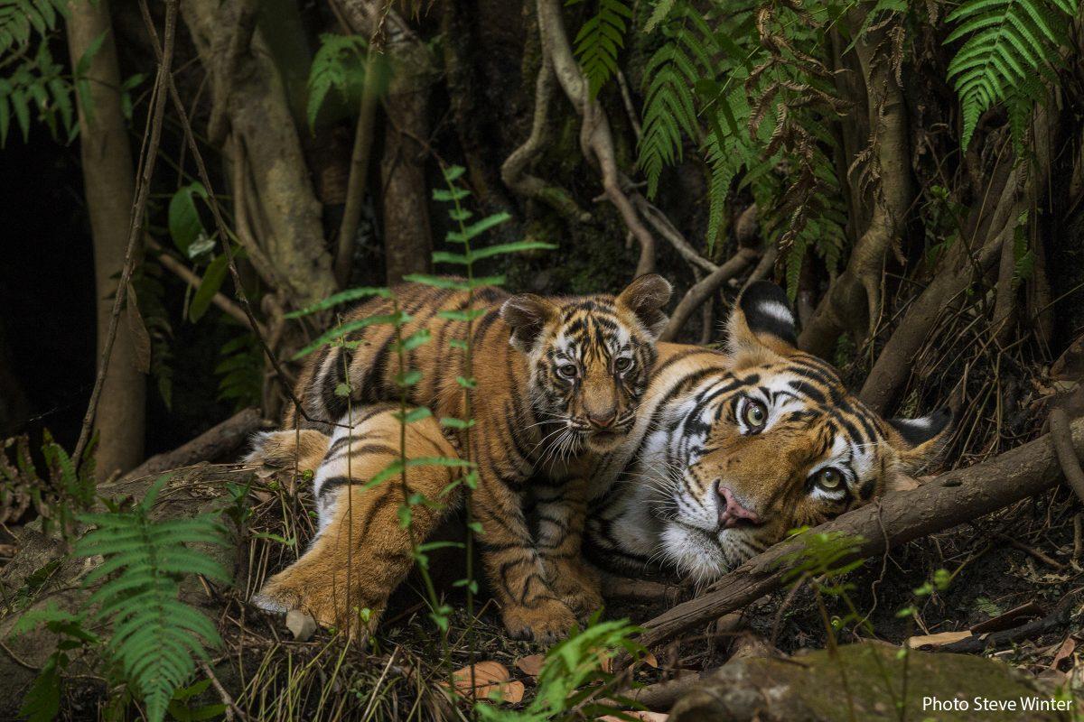 MM766 Tigers in Bandhavgarh Natl Park India